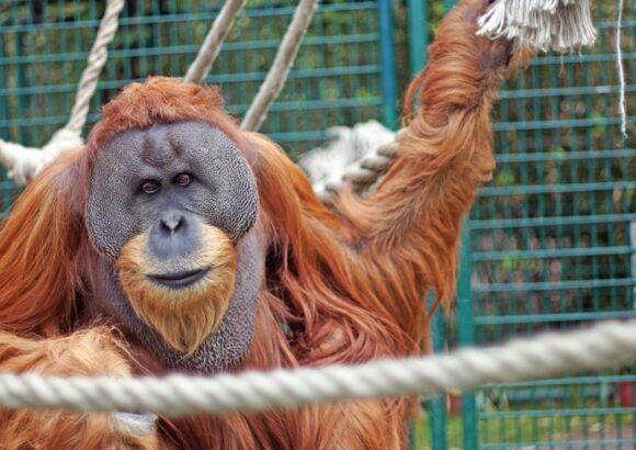 Pressemitteilung: Solidarität mit den fünf Orang-Utans im Dresdner Zoo